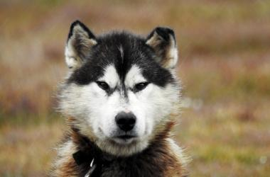Sled dog watching you